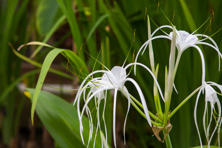 spider lily: White lily flowers in a garden ; Spider Lily