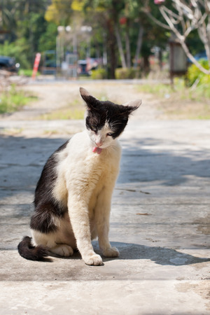 Stray Cat on the street in Thailand. photo