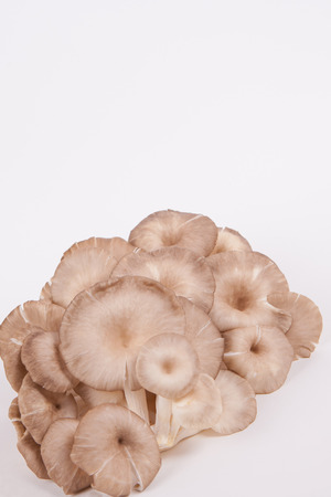 jhy: oyster mushroom on white paper background