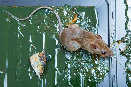 entrap: glue mousetrap.