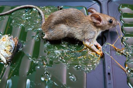 glue: glue mousetrap.