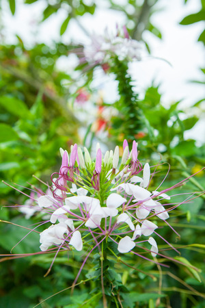 whiskers: Pink Flowers With Whiskers in garden. Stock Photo