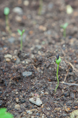 inhospitable: watermelon seedling emerging from rough soil in Thailand Stock Photo