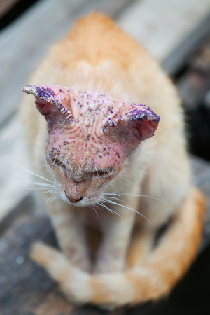 skin disease: Sick cat with skin disease, close up. Stock Photo