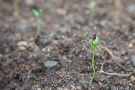 emerging: watermelon seedling emerging from rough soil in Thailand Stock Photo