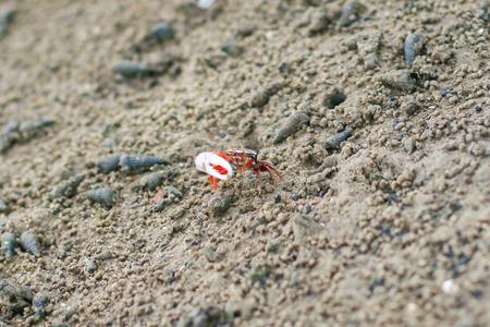 fiddler: Fiddler Crab in the mangrove at Thailand