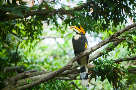 Great hornbill Buceros bicornis, also known as the great Indian hornbill or great pied hornbill. Wildlife animal. Stock Photo - 43018528