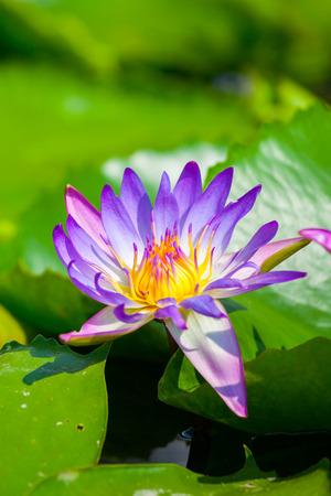 nenuphar: Beautiful lotus flower or waterlily in the garden,Thailand
