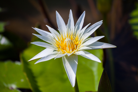 lilia: Beautiful lotus flower or waterlily in the garden,Thailand