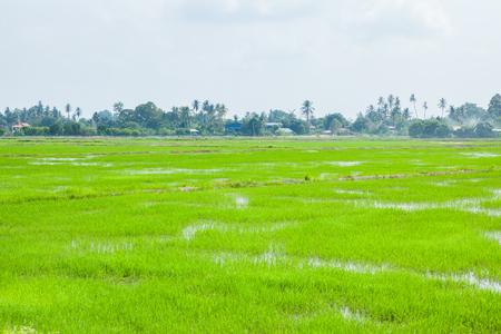 Green Fields in Pulau Pinang at Malaysia.