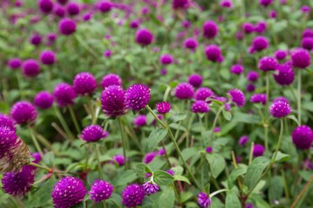 Globe amaranth on the hill side,Malaysia Archivio Fotografico