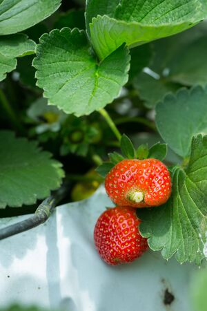 Red Strawberry on Strawberry plant at Cameron Hiland,Malaysia