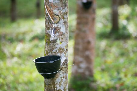 Tapping latex from a rubber tree. Thailand (Selective Focus) Stockfoto