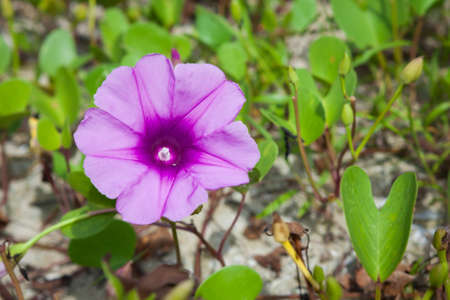 Goat's Foot Creeper or Beach Morning Glory (Scientific Name : Ipomoea Pes-caprae), Morning Glory on the beach in the morning.