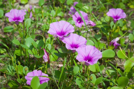 Goat's Foot Creeper or Beach Morning Glory (Scientific Name : Ipomoea Pes-caprae), Morning Glory on the beach in the morning. Reklamní fotografie