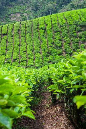 Tea Plantation in Cameron Highlands, Malaysia. Standard-Bild