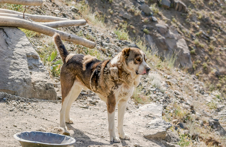 A chained dog in an informal settlement on the hillsides of Kabul Afghanistan 免版税图像 - 97530737