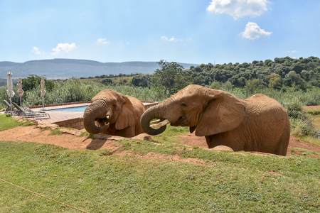 Elephants and swimming pool in the Magaliesberg mountain near Johannesburg and Pretoria in South Africa snacking on treats provided by park rangers 免版税图像