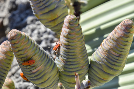 Welwitschia plants in the desert near the coastal town of Swakopmund at the Atlantic Ocean in Namibia Southern Africa that can grow for thousands of years 免版税图像 - 97530799
