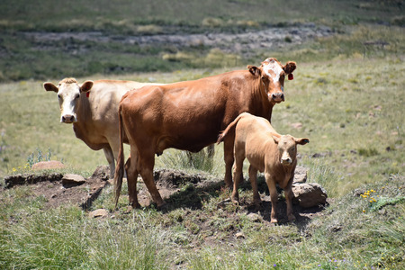 Cattle in the fields in the mountains near Rhodes in South Africa in the Eastern Cape and the Loch Ness pond near Tiffendell 免版税图像 - 97530778