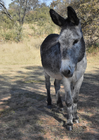 A portrait of a standing donkey taken in South Africa looking to the left with tall ears staring at something