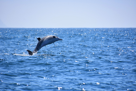 A jumping common dolphin in the Indian Ocean near Plettenberg Bay near the Robberg on the Garden Route in South Africa