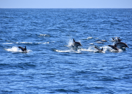 Common dolphins in the Indian Ocean near Plettenberg Bay near the Robberg on the Garden Route in South Africa