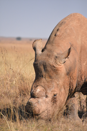 A white rhino dehorned to stop poaching in South Africa frontal view 免版税图像 - 97530783