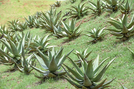 A group of aloe plants on a hilly manicured grass field in pretoria