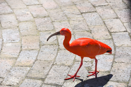 A red Scarlet Ibis walking on a paved road as background carefully observing its surroundings