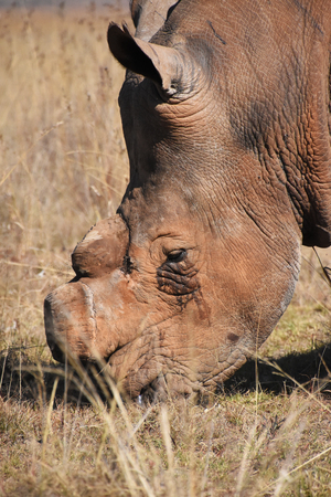 A white rhino dehorned to stop poaching in South Africa seen from the side with a view of the head only clearly showing the physical  impact of the anti-poaching measure
