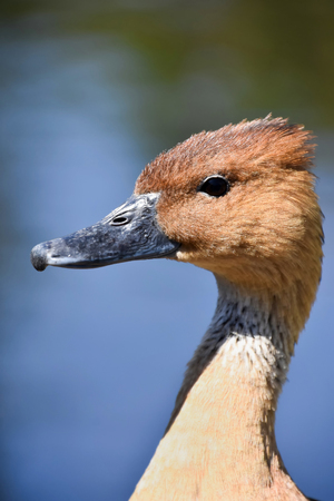 A closeup of a Whistling Duck looking to the left against a blue and green background