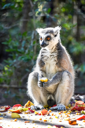 A sitting Ringtailed Lemur snacking on a plate of colorful fruit in South Africa