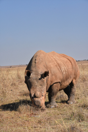 A white rhino de-horned to stop poaching in South Africa seed in frontal full body view facing the camera