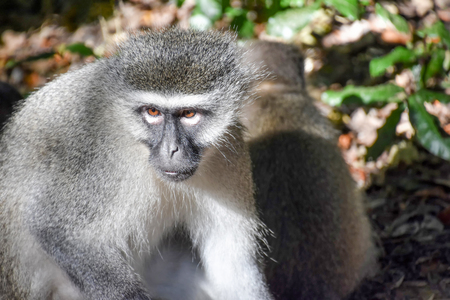A Vervet Monkey sitting on the ground looking to the left of the camera in South Africa 免版税图像 - 97530730