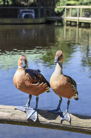 A pair of Whistling Ducks on a wooden railing looking into the camera 免版税图像
