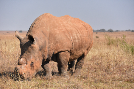A white rhino dehorned to stop poaching in South Africa full body view