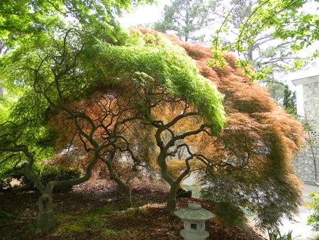 japanese maples: Japanese Maple Stock Photo