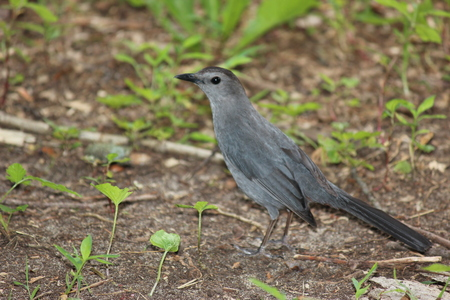 gray catbird: A gray catbird on the ground looking for nesting material