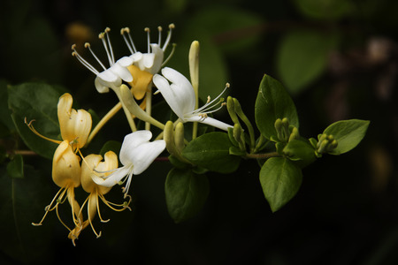 bourgeon: A small cluster of white and yellow honeysuckle on the vine