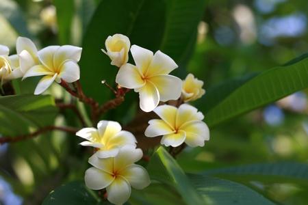 thom: Lan thom is  plantin the genus Plumeria  Stock Photo