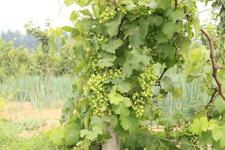 vigorous: grapes Stock Photo