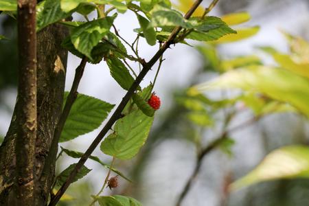 야생 붉은 과일