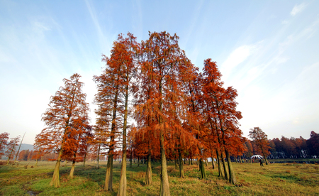 metasequoia: metasequoia Stock Photo