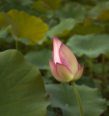 Close up view of a lotus