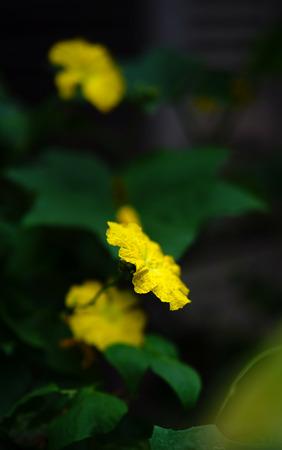 Luffa flower close up view on dark background