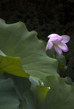 lotus pond Stock Photo