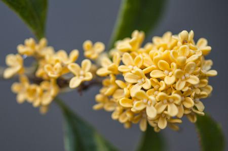 cassiabark tree flowers close up view