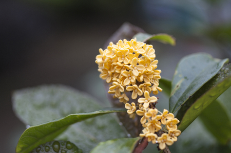 Golden sweet scented osmanthus close up view