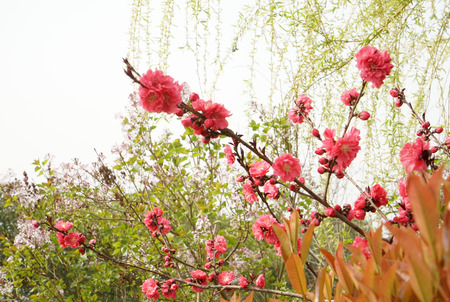 Peach flower weeping willow